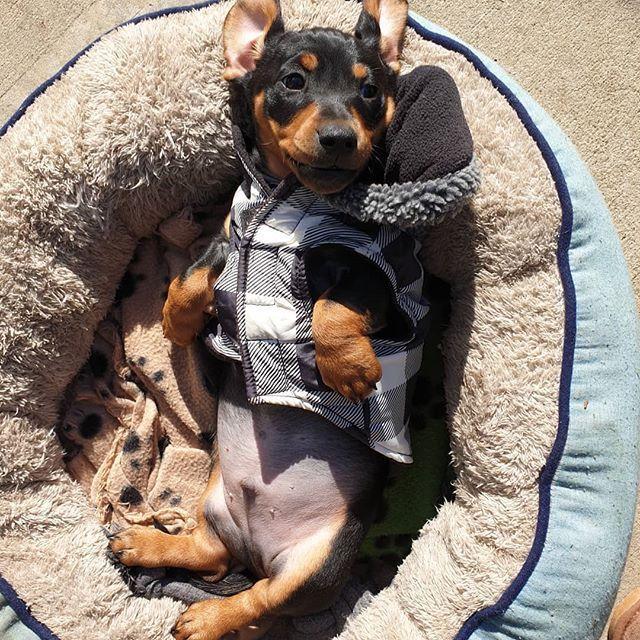 Boston Terrier Puppies Texas Craigslist - Pets Lovers
