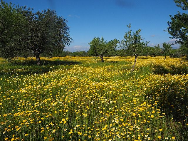 De meesten kennen de chrysant wel; een schattige bloem die je ook gewoon voor de ingang van de supermarkt kan kopen voor in je tuin. Maar wist je ook dat de Chrysanthemum (Jú Huā, 菊花)