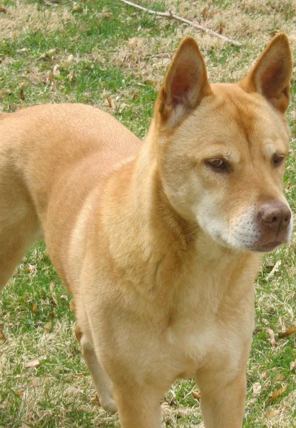 8 Best Images About Carolina Dogs On Pinterest Copper