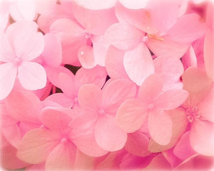 Soft Pink Hydrangea Flower Close Up by Le Paper Cafe Photography on Creative Market