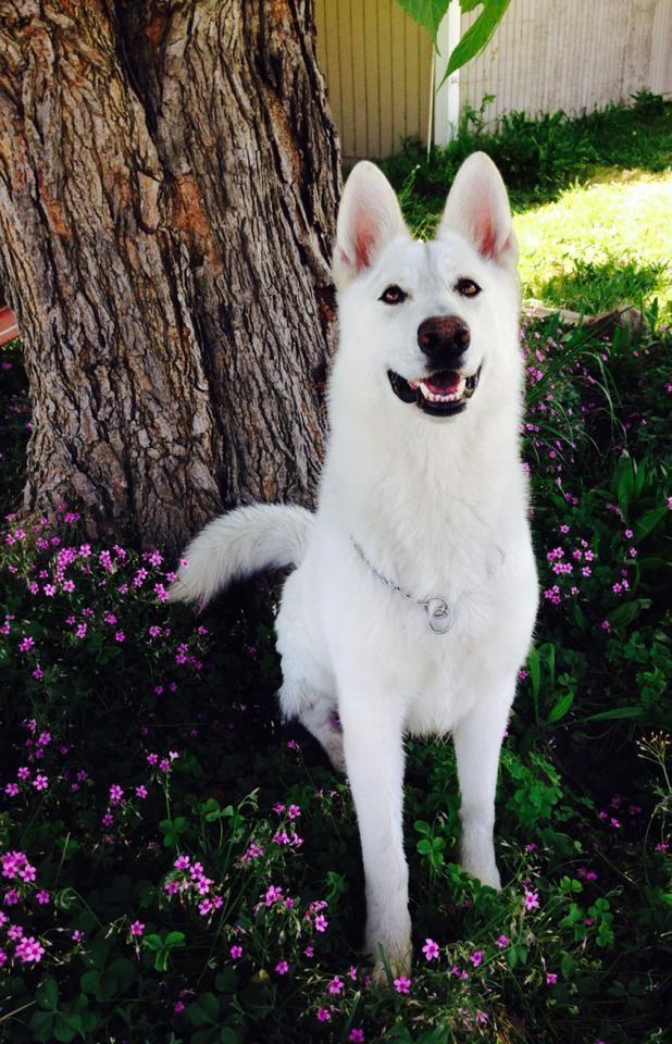 Bellevue German Shepherds X Pect The Unexpectd I Love White
