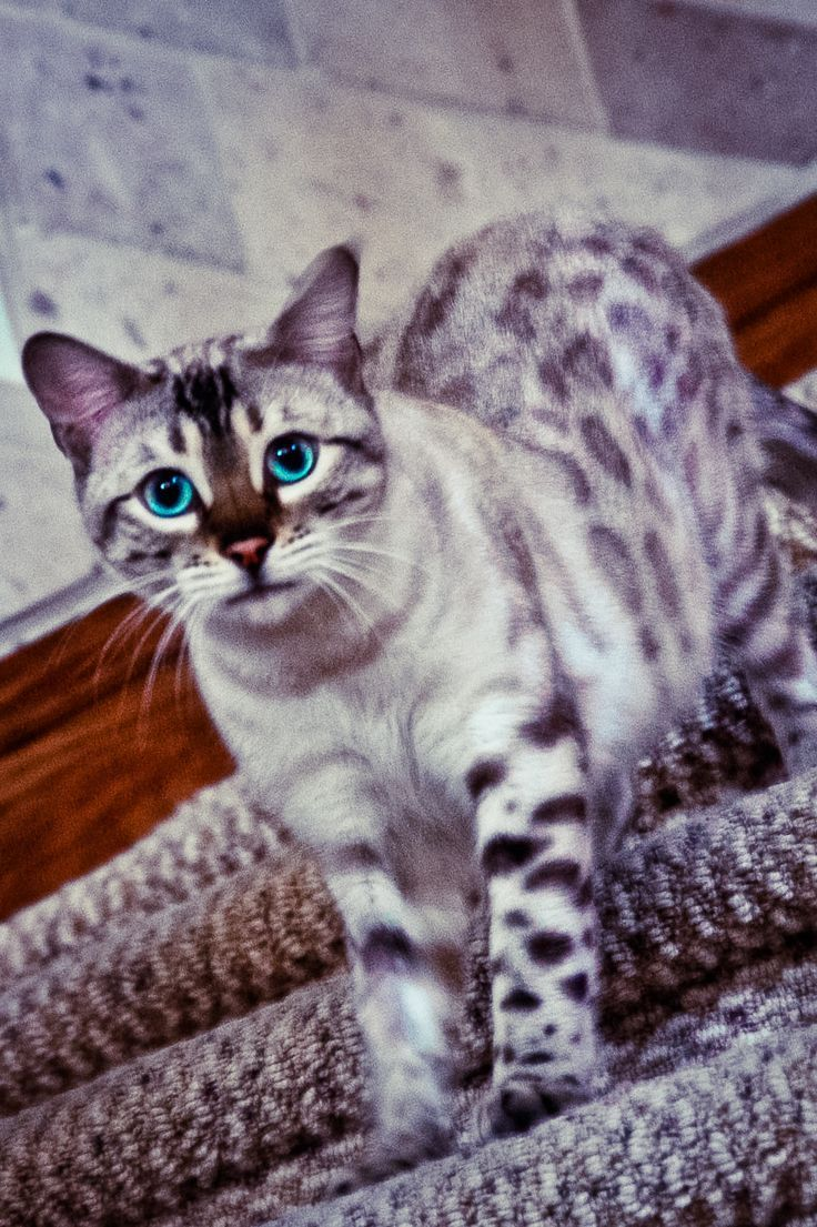 Cat That Looks Like A Tiger Breed