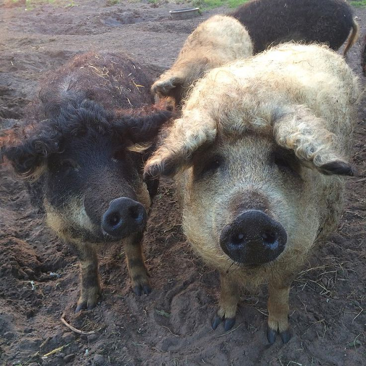 I'm sorry everyone, but I have hereby declared my pigs to be the most photogenic pigs in the world! (Yeah swimming pigs of the Bahamas, you're in second place now😋 ) Just look at those faces! 😍#mangalica#mangalitza#mangalica#pig#pigs#pigfarmer#happypigs#photogenic#woolypig#lard#lardpig#magyar#magyarország#heritagebreed#rarebreed#fecskehasúmangalica#szőkemangalica#farm#agriculture#permaculture#freerangepork#freerangepigs#lovethem#goodlife