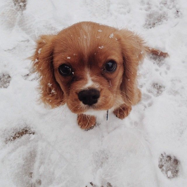 Cool Charles Spaniel Brown Adorable Dog - 08f579868a06654a4a5211240e956a7f--ruby-cavalier-king-charles-spaniel-king-charles-spaniels  You Should Have_184816  .jpg