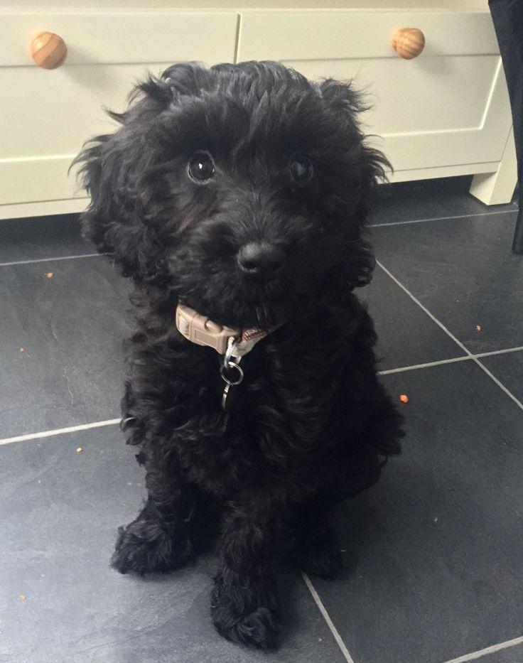 Black cockapoo puppy. Audrey. Female. 10 weeks.