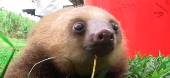 Special Squeaky Sloth Video you need to watch this I'm gonna make this noise all the time!!!