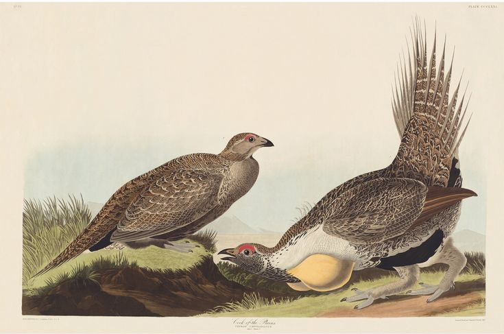 Rare Prints Cock of the Plains