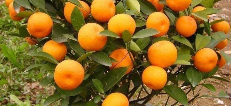 Disfruta del sabor y las propiedades de las mandarinas, ¡que tú mismo cultives!