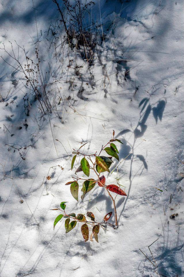 Gum tree sapling growing through the snowfall at Oberon. Photo: David Hill, Blue Mountains Lithgow & Oberon Tourism