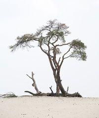 Eenzame boom op de Veluwse zandverstuiving