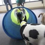 Capitol Canine Club allows #dogs to play cage-free with other dogs while also practicing some basic #training and manners.