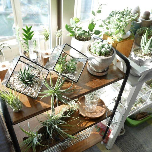 abeさんの、多肉植物,サボテン,チランジア,エアプランツ,植物,観葉植物,My Shelf,のお部屋写真