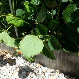 fraises du jardinet