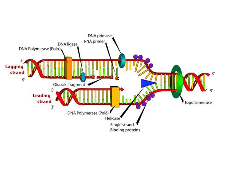 Some of the major difference between leading strand and lagging strand are as follows: Leading Strand: 1. It is a replicated strand of DNA which grows continuously without any gap. 2. It does not require DNA ligase for its growth. ADVERTISEMENTS: 3. The direction of growth of the leading strand is 5′ —> 3 4. …