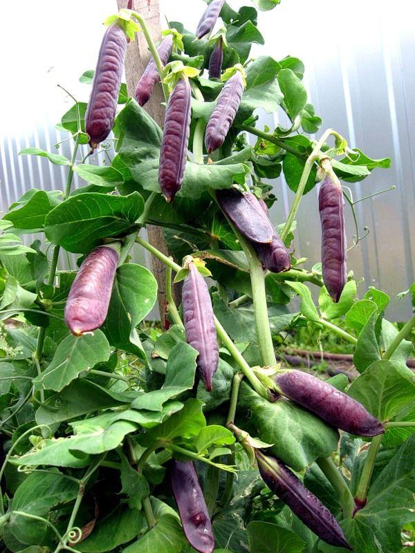 А пробовали ли вы спаржевый горох или горох сорта Фиолетовый сахар? Попробуйте его вырастить  Горох – одна из основных зернобобовых культур в России. Вообще-то жизнь россиян издавна связана с этим рас…