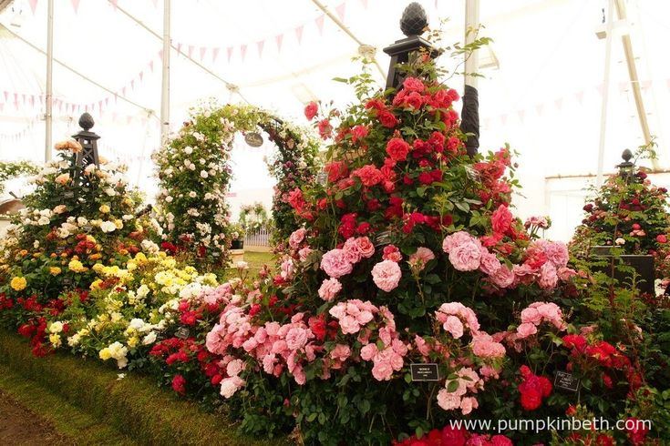Peter Beales Roses were awarded a Gold Medal, and the prestigious award of Best Rose Exhibit, by the RHS judges, at The RHS Hampton Court Palace Flower Show 2016.