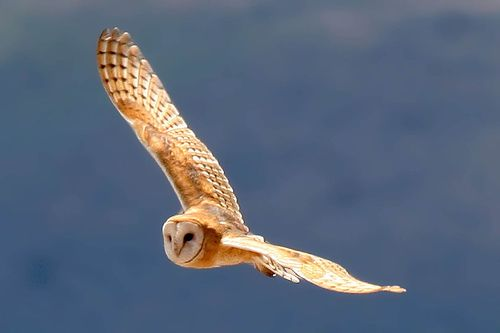 How the Barn Owl became Berkeley's official bird | Berkeleyside