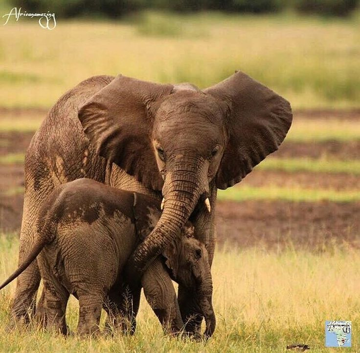 I love them. .!! @africanamazing - The Africanamazing Team is honoured to present this wonderful mother Elephant with her calf from Maasai Mara. - Location : Kenya Congratulations : @hazfw ___________________________________ For info about promoting your elephant art or crafts send me a direct message @elephant.gifts or emailelephantgifts@outlook.com . Follow @elephant.gifts for inspiring elephant images and videos every day! . . #elephant #elephants #elephantlove