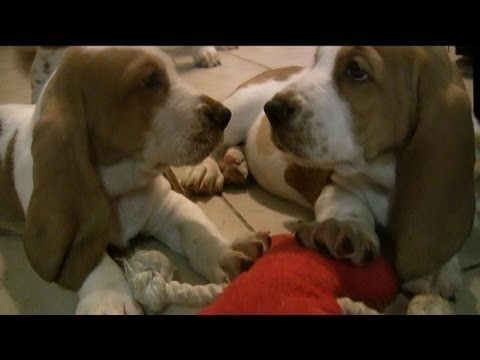 Bad Puppy! Baby Basset Hounds In Trouble! - YouTube