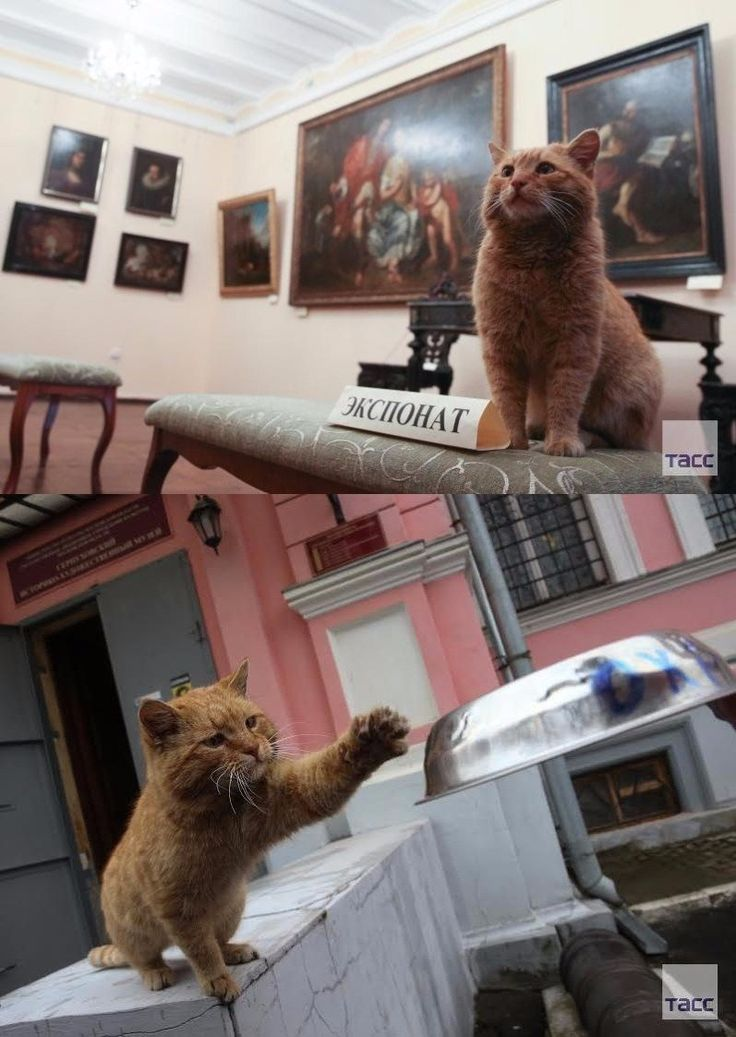 An orange cat named Maray is a working cat at Russia's Serpukhov Museum. He greets the visitors.