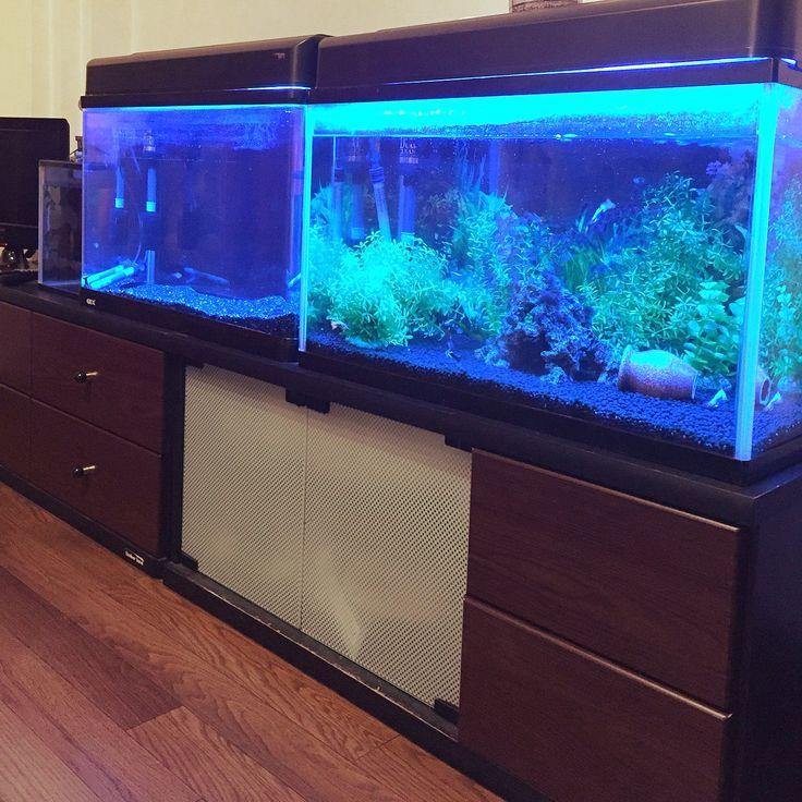 水槽 熱帯魚 新入りピラニア赤ちゃん/リビングのインテリア実例 - 2015-08-29 00:00:32 | RoomClip(ルームクリップ)