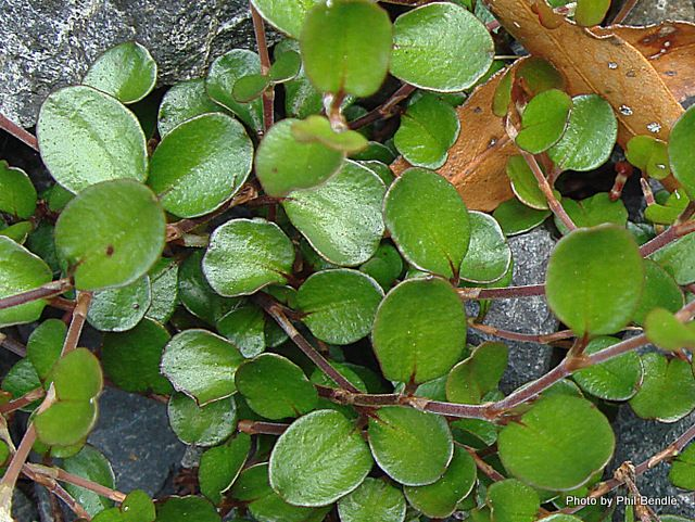 Muehlenbeckia axillaris -  (Creeping muehlenbeckia)T.E.R:R.A.I.N - Taranaki Educational Resource: Research, Analysis and Information Network -