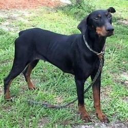 Umatilla Florida Doberman Pinscher Meet Holly A For Adoption