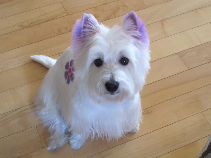 West Highland Terrier Brown 17 Best images a...