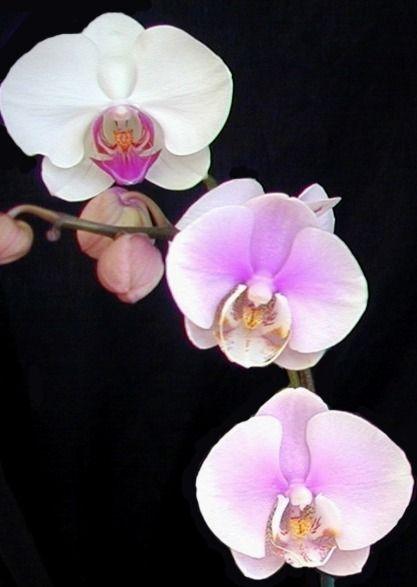 immagine orchidea / come coltivare le orchidee