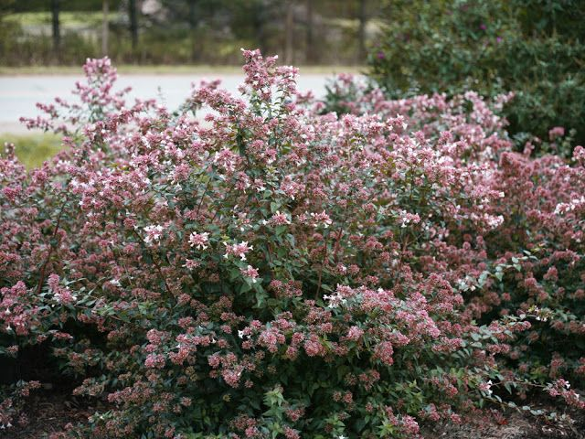The Plant Hunter: Replacing Roses Affected by Rosette Disease