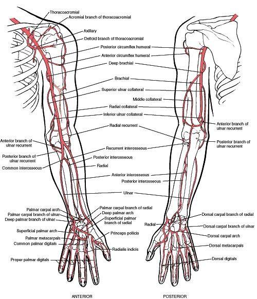 arm anatomy drawing