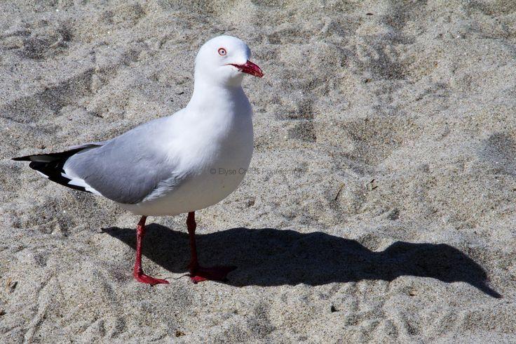 Seagull - Mount Maunganui beach, Tauranga   © Elyse Childs Photography