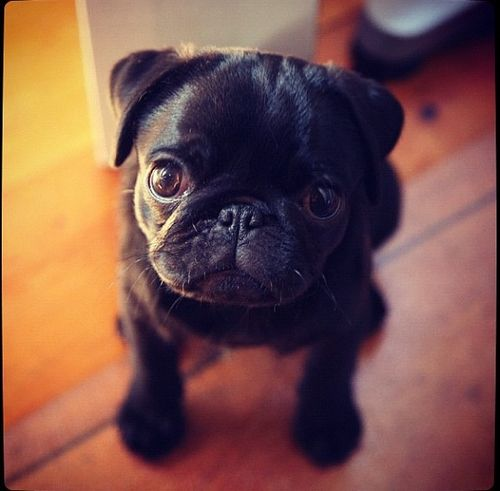 Just looking cute pug
