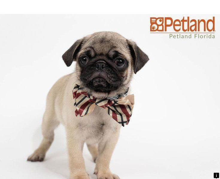 Pin On Trendy Pug Puppies
