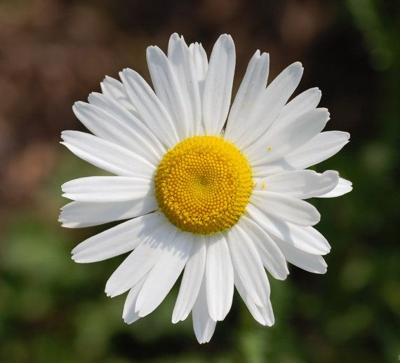 Margaritas blancas.  (leucanthemum máxima)