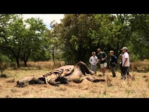 "Mini documentary ""Children see brutality of poached rhino"" filmed at Askari Lodge was ""aired"" at the SBU Film Festival in New York America on 24 April 2014.  Tijana Huysamen.  #AntiRhinoPoaching  #atGuvon"