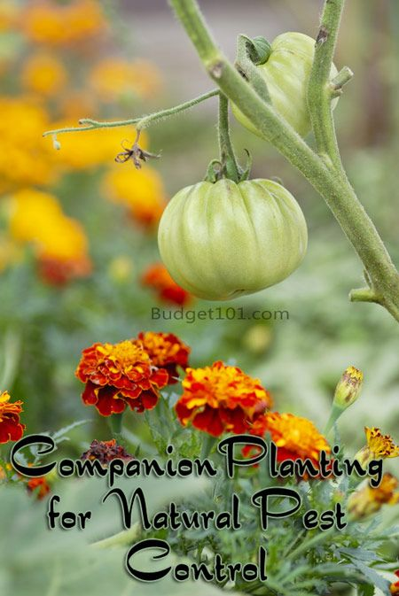 PDF Companion planting in comments!!  Baby on a Budget-b101-companion-planting-sm.jpg