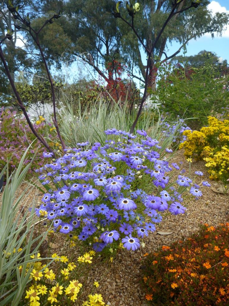 A Beautiful Display At Kings Park In Perth Highlighted By Swan River Daisy Brachyscome Iberidifolia Australian Wildflowersaustralian Native Gardenkings