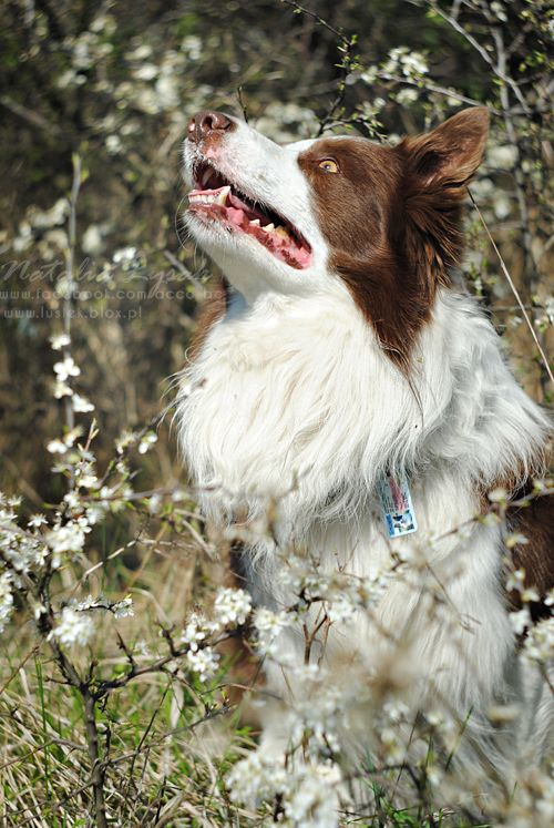 Red and white border collie looking up away from the camera sitting among flower spotted branches. #BorderCollie