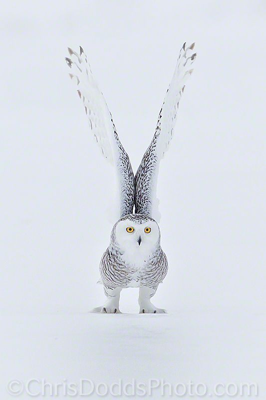 Snowy Owl about to take flight.