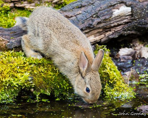 A curious baby wild rabbit (Oryctolagus cuniculus) explores its woodland home for the first time. Lee Valley, UK