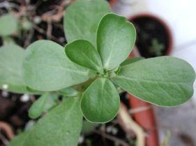 Purslane, edible weeds