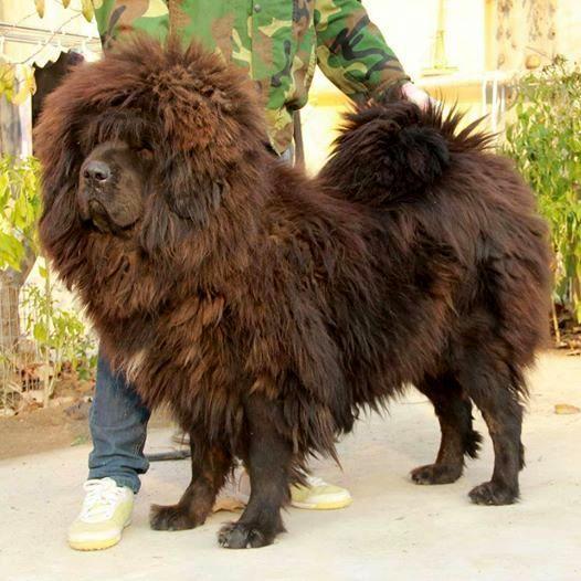 how to get a tibetan mastiff