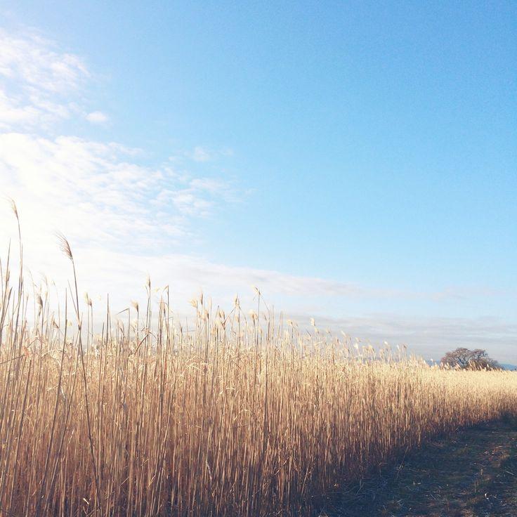 Golden Miscanthus softly waving against the crisp blue sky