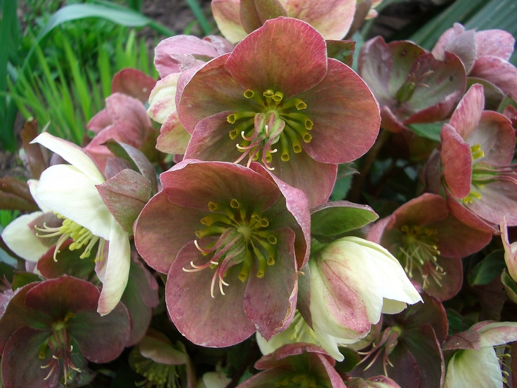 Hellebore / Helleboris great way to add color to your garden during the winter, they start flowering around february… available in many colors ranging from white to deep purple… and from 20cm high unto 60cm