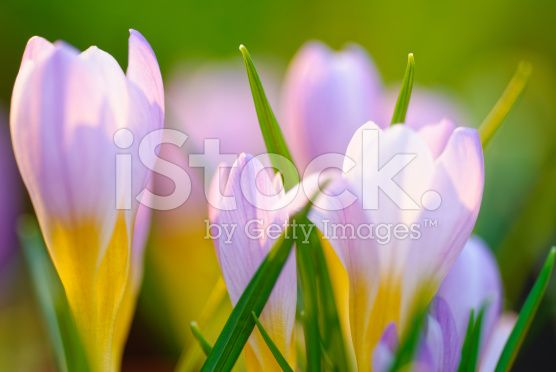 Blue crocus background royalty-free stock photo