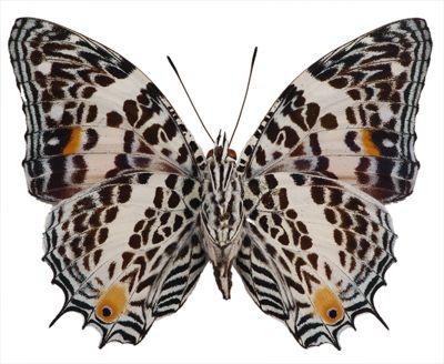 Baeotus (Megistanis) deucalion - Underside: Colors Patterns, Brushes Foot Butterflies, Awesome Insects, Black And White, Brushfoot Butterflies, Black White, Baeotus Megistani, Animalssm Wings, Awesome Latest