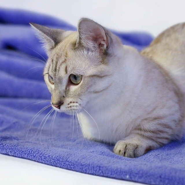 Манчкин Каспер. Casper. Munchkin. #munchkin #cat #cattery #lovely #songofice #supercat #Casper #moscow #russia #манчкин #каспер #суперкот #котэ #безкотажизньнета #кошкатакса #котгусеница #питомник #питомниккошек #munchkincat