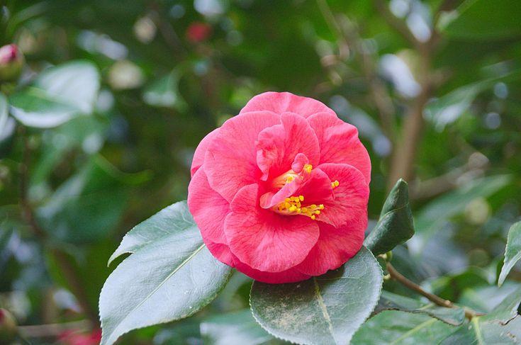 #botanique #cognassier du japon #fleur #floraison #flore #nature #ptales #plantes #printemps #vegetation
