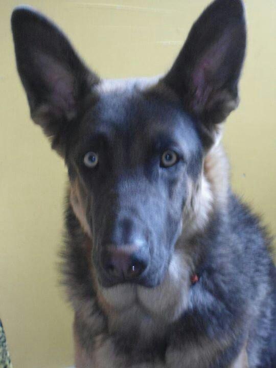 25 best ideas about blue german shepherd on pinterest